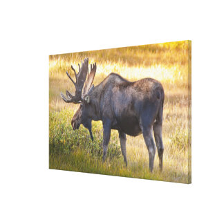 USA, Colorado, Cameron Pass. Bull moose with Stretched Canvas Print