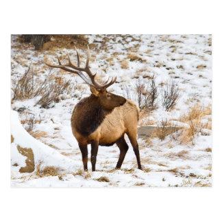 USA, Colorado, Close-Up Of Bull Elk Postcard