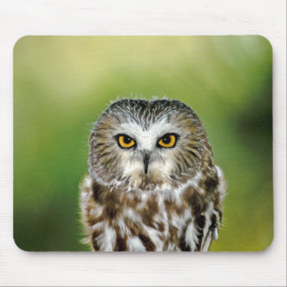 USA, Colorado. Close-up of northern saw-whet owl Mouse Pad
