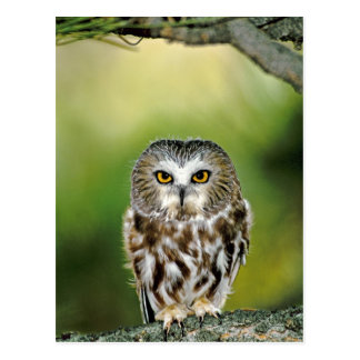 USA, Colorado. Close-up of northern saw-whet owl Postcard