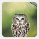 USA, Colorado. Close-up of northern saw-whet owl Square Sticker