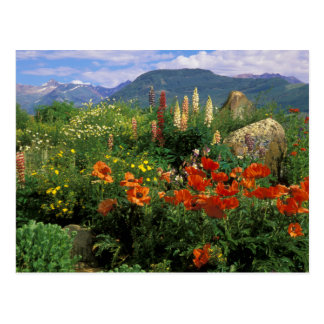 USA, Colorado, Crested Butte. Poppies and lupine Postcard