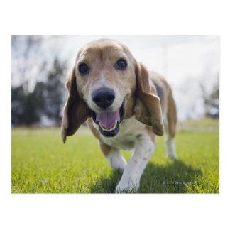 USA, Colorado, curious dog walking towards Postcard