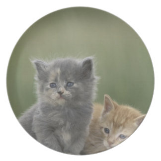 USA, Colorado, Divide. Two barn kittens pose on Dinner Plates