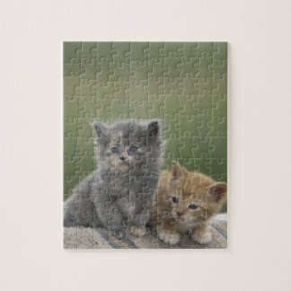 USA, Colorado, Divide. Two barn kittens pose on Jigsaw Puzzle