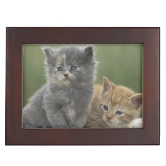 USA, Colorado, Divide. Two barn kittens pose on Keepsake Box