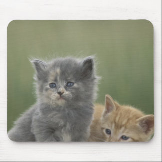 USA, Colorado, Divide. Two barn kittens pose on Mouse Mat