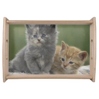 USA, Colorado, Divide. Two barn kittens pose on Serving Tray