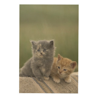 USA, Colorado, Divide. Two barn kittens pose on Wood Wall Decor
