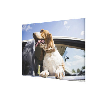 USA, Colorado, dog looking through car window Canvas Print