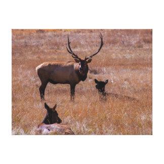 USA, Colorado. Elk In Rocky Mountain National Canvas Print