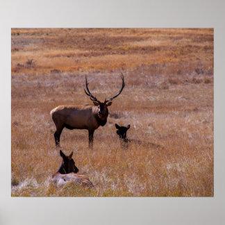 USA, Colorado. Elk In Rocky Mountain National Poster
