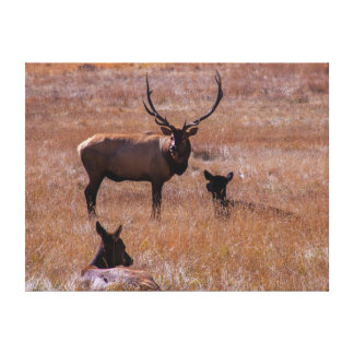 USA, Colorado. Elk In Rocky Mountain National Stretched Canvas Prints