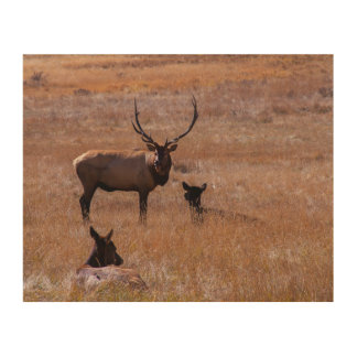 USA, Colorado. Elk In Rocky Mountain National Wood Wall Decor