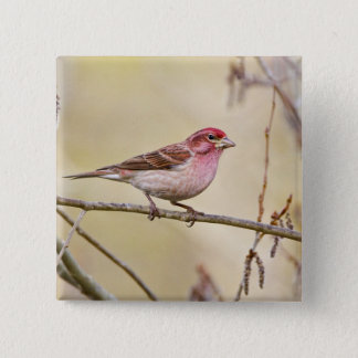 USA, Colorado, Frisco. Cassin's finch on limb. 15 Cm Square Badge