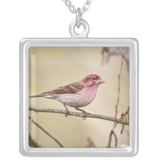 USA, Colorado, Frisco. Cassin's finch on limb. Silver Plated Necklace