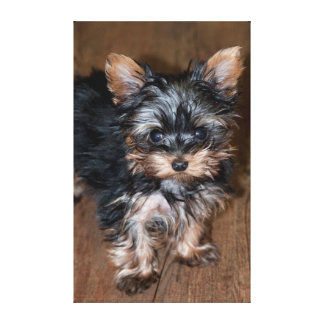 USA, Colorado, Longmont. Mixed breed puppy Gallery Wrapped Canvas