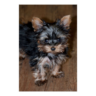 USA, Colorado, Longmont. Mixed breed puppy Poster