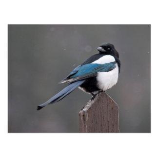 USA, Colorado, Magpie In Estes Park Postcard