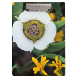 USA, Colorado. Mariposa tulip Clipboard