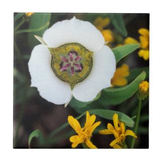 USA, Colorado. Mariposa tulip Tile