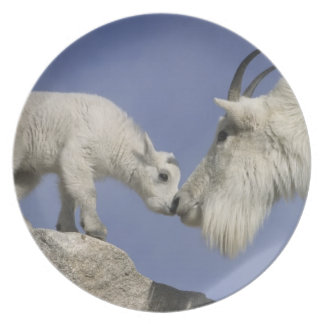 USA, Colorado, Mount Evans. Mountain goat mother Plate