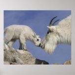 USA, Colorado, Mount Evans. Mountain goat mother Poster