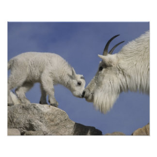 USA, Colorado, Mount Evans. Mountain goat mother Poster