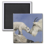 USA, Colorado, Mount Evans. Mountain goat mother Square Magnet
