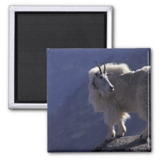 USA, Colorado, Mountain goat (Oreamnos Magnet