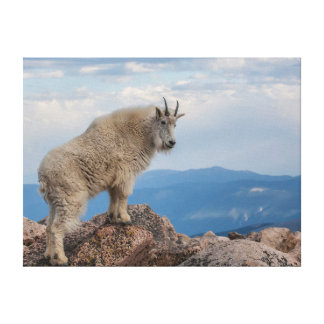 USA, Colorado, Mt. Evans. Mountain Goat Stands Stretched Canvas Print