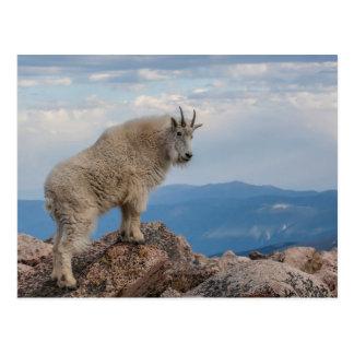 USA, Colorado, Mt. Evans. Mountain Goat Stands Postcard