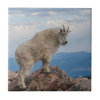 USA, Colorado, Mt. Evans. Mountain Goat Stands Small Square Tile