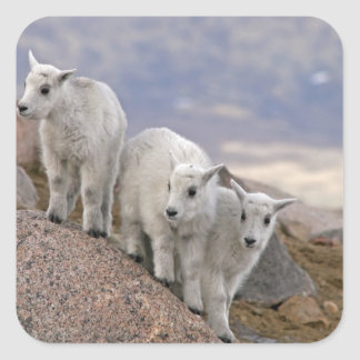 USA, Colorado, Mt. Evans. Three mountain goat Square Sticker