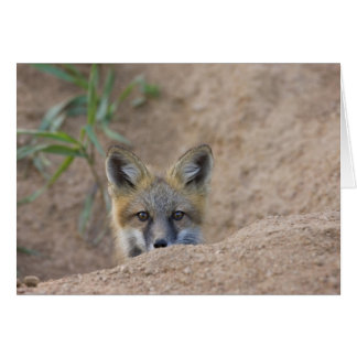 USA, Colorado, Pike National Forest. Shy red fox Card