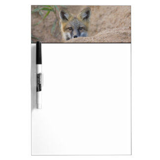 USA, Colorado, Pike National Forest. Shy red fox Dry Erase Board
