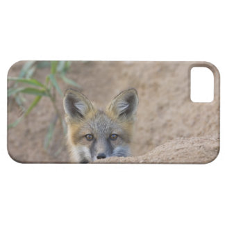 USA, Colorado, Pike National Forest. Shy red fox iPhone 5 Cover