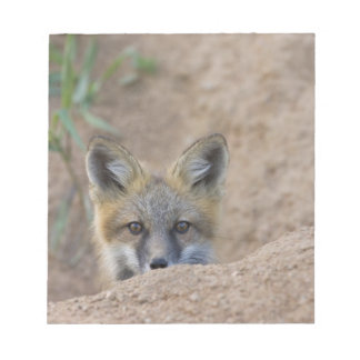 USA, Colorado, Pike National Forest. Shy red fox Notepad