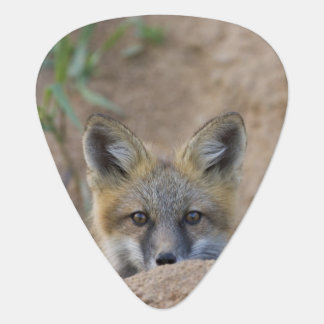 USA, Colorado, Pike National Forest. Shy red fox Plectrum