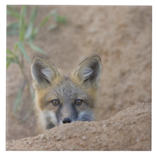 USA, Colorado, Pike National Forest. Shy red fox Tile