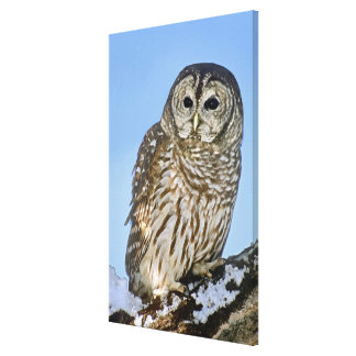 USA, Colorado. Portrait of barred owl perched on Canvas Print