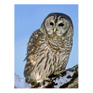 USA, Colorado. Portrait of barred owl perched on Postcard