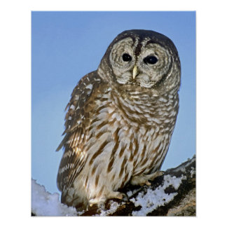 USA, Colorado. Portrait of barred owl perched on Poster