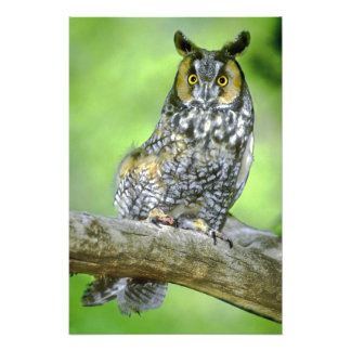 USA, Colorado. Portrait of long-eared owl Photo Print