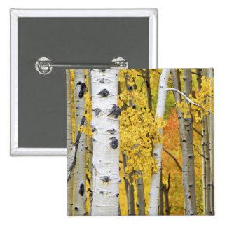 USA, Colorado, Rocky Mountains.  Intimate aspen Pin