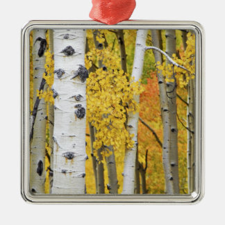 USA, Colorado, Rocky Mountains.  Intimate aspen Christmas Ornament