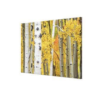 USA, Colorado, Rocky Mountains.  Intimate aspen Gallery Wrapped Canvas