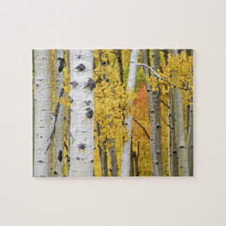 USA, Colorado, Rocky Mountains.  Intimate aspen Jigsaw Puzzle