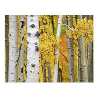 USA, Colorado, Rocky Mountains.  Intimate aspen Postcard