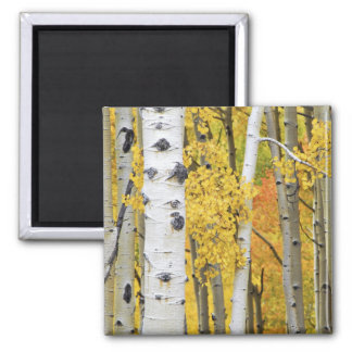 USA, Colorado, Rocky Mountains.  Intimate aspen Square Magnet